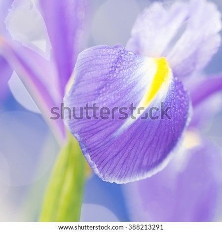 Purple Flower isolated against green, square cropped