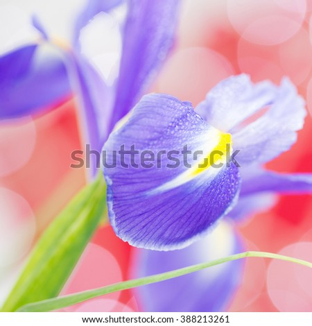 Purple flower isolated, square cropped. - stock photo