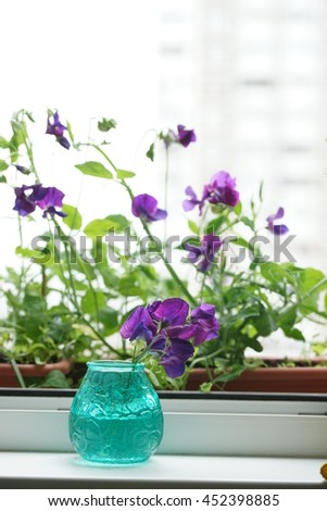 Purple flower of sweet peas