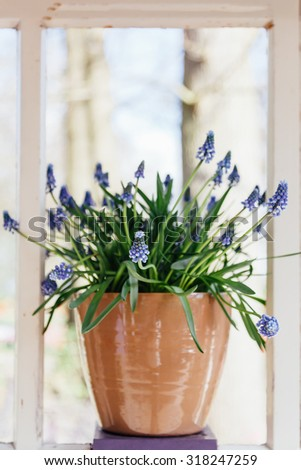 Purple flower plant in a pot on a bright window, shallow dept of field - stock photo
