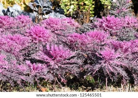 Purple Flowering Kale (Ornamental Cabbage) in the Garden - stock photo