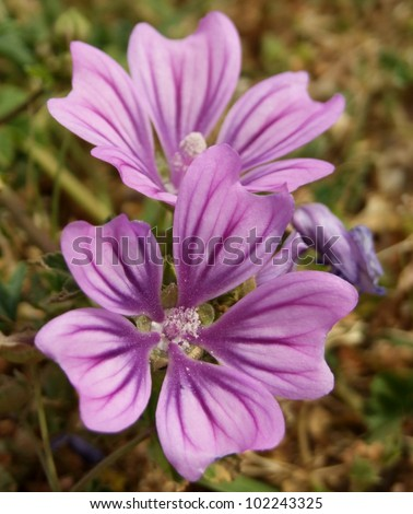 Purple Flowers - Common Mallow or Wild Mallow in the Mediterranean - stock photo