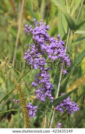 Purple flowers field - stock photo