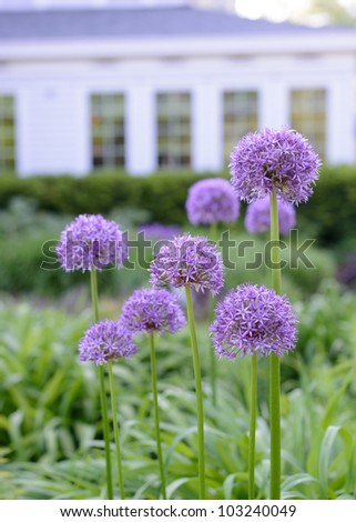 purple flowers growing in the garden of a bed and breakfast home - stock photo