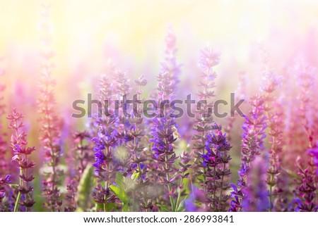 Purple flowers in meadow - stock photo