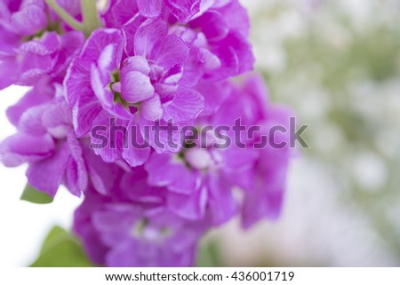 Purple Flowers, isolated against green - stock photo