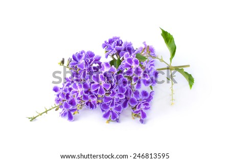 purple flowers  isolated on a white background.