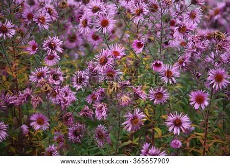 Purple flowers of aster dumosus in autumn garden. - stock photo