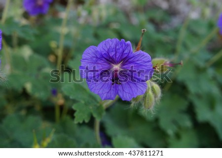 Purple flowers of Geranium Platypetalum cranebill
