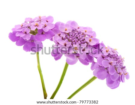 purple flowers on a white background