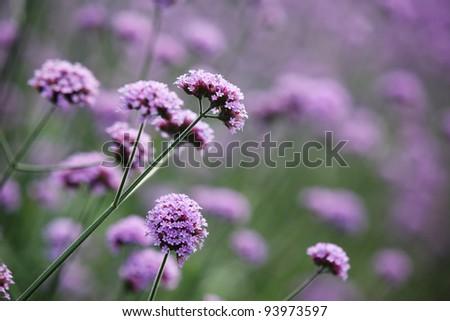 Purple flowers on beautiful bokeh background. - stock photo