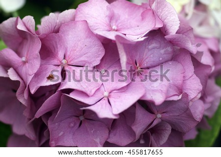 Purple flowers on the bush hydrangeas - stock photo