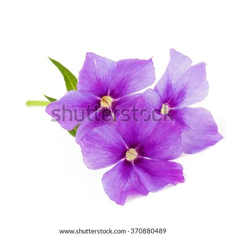 Purple flowers phlox - stock photo