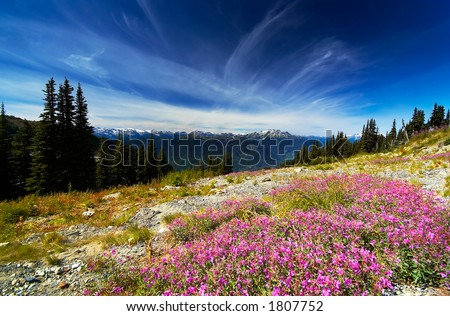 Purple flowers, pine trees, and snow peaks of Blackcomb Mountains. More with keyword group14l