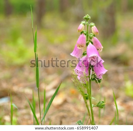 Purple foxgloves blossom grove wild pink stock photo royalty free purple foxgloves blossom in grove wild pink flowers growing in the forest beautiful pink mightylinksfo