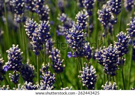 Purple fragrant lavender flower garden - stock photo
