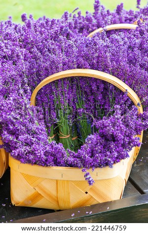 Purple fresh provence blossoming lavender flowers in wicker basket. Outdoors closeup.