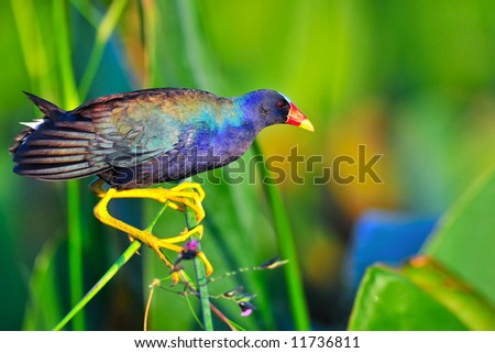 purple gallinule walking on fireflag stem in wetland marsh - stock photo