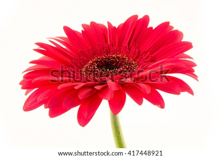 Purple gerbera isolated on white background / beautiful red gerbera flower isolated on white background - stock photo