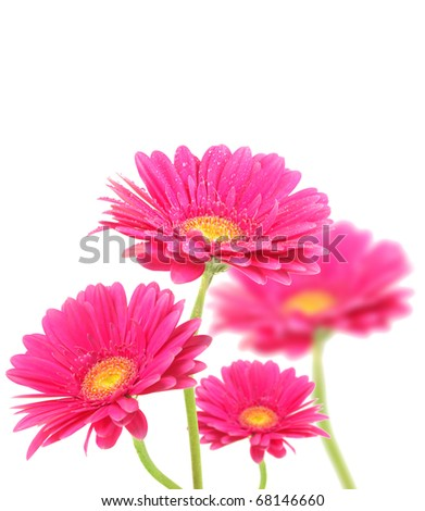Purple gerberas flowers isolated on white background - stock photo