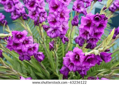 Purple gladioli flowers - stock photo