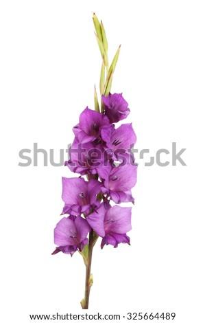 Purple gladiolus flowers isolated against white - stock photo