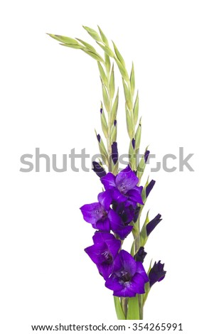 purple gladiolus flowers on white background - stock photo