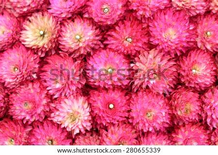 Purple Globe Amaranth or Bachelor Button flower background. (Gomphrena globosa L.) - stock photo
