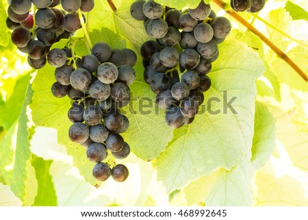 Purple grapes growing on a vine in a wine vineyard