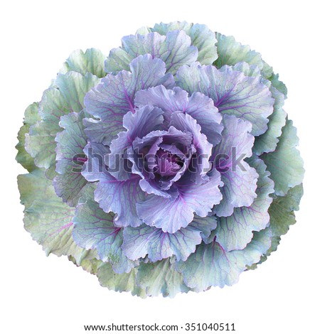 Purple - green cabbage isolated - top view - stock photo