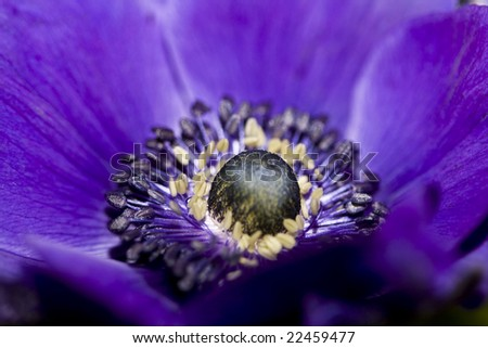 purple heart of an anemone - stock photo