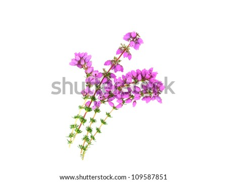 Purple Heather - stock photo
