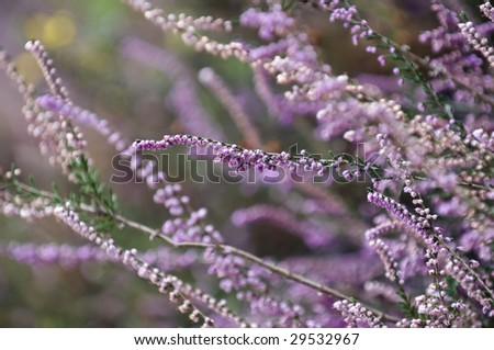 Purple heather fields with shallow dof background - stock photo