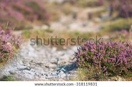 Purple Heather Flowers on Stony Mountain Path, Shallow Depth of Field - stock photo