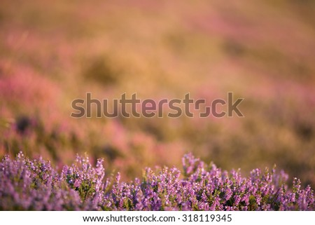 Purple Heather Flowers with Blurred Background - stock photo