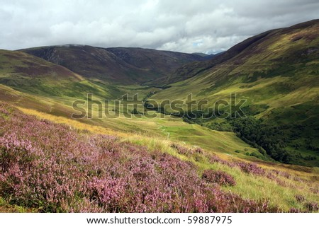 Purple Heather in the Scottish Highlands. - stock photo