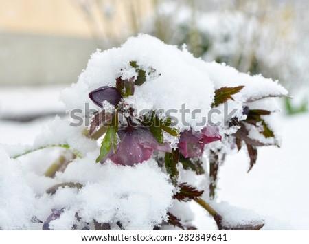 Purple Helleborus under the snow - stock photo