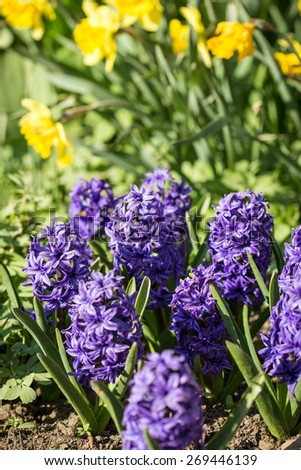 Purple hyacinths flowers in the spring garden