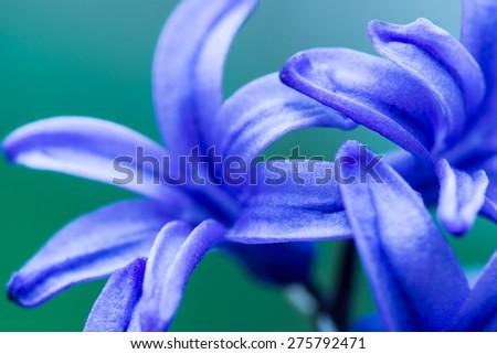 Purple hyacinths in the garden - stock photo