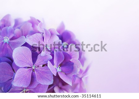 Purple Hydrangea Flowers - stock photo
