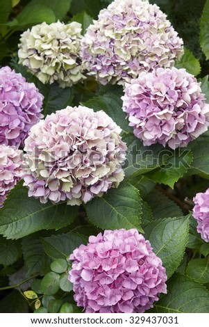 Purple hydrangeas with green background in Pico island. Azores. Portugal. Vertical