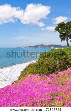 Purple ice plant blooming on a cliff overlooking the Pacific ocean in Santa Barbara, California. - stock photo