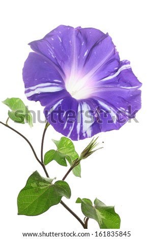 Purple Ipomoea Nil flower in bloom isolated on white - stock photo