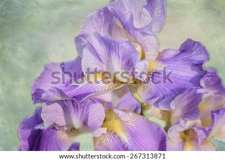 Purple iris blooms,digital oil painting against textured background - stock photo