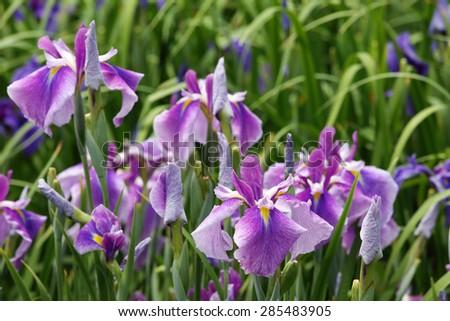 purple iris flower on flower bed - stock photo