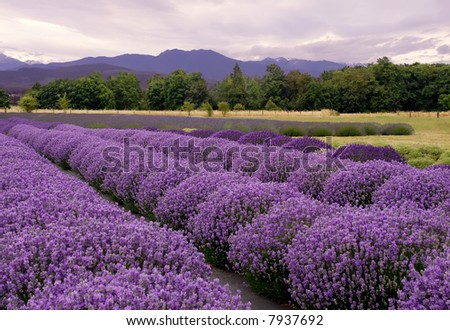 Purple landscape at a Lavender farm in Sequim, Washington, USA - stock photo