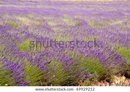 purple lavender fields in Paarl, South Africa - stock photo