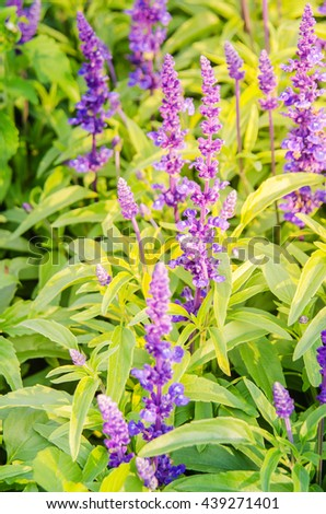 Purple lavender flower blooming in the fields with a soft warm light filter. - stock photo