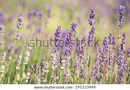 Purple lavender flowers at soft background. Floral texture background on pastel colors. Wilde flowers on meadow in summertime. Lavender field in Provence. Violet lavender blossoms in summer day. - stock photo