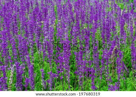 Purple lavender flowers in nature fields with sun - stock photo